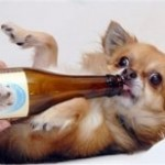 Chihuahua enjoying Kwispelbier