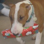 Dog carrying her wrapped Christmas gift