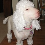 Bull Terrier in Poodle Costume