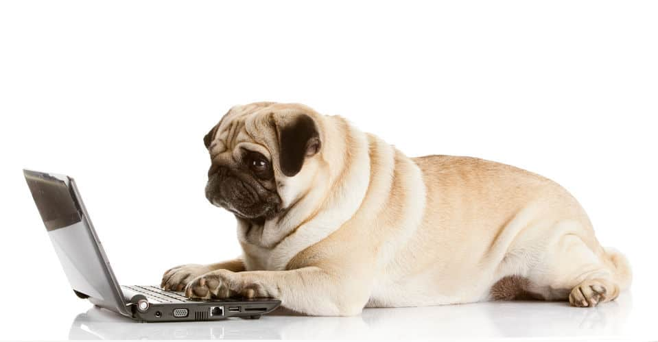 pug dog with a laptop
