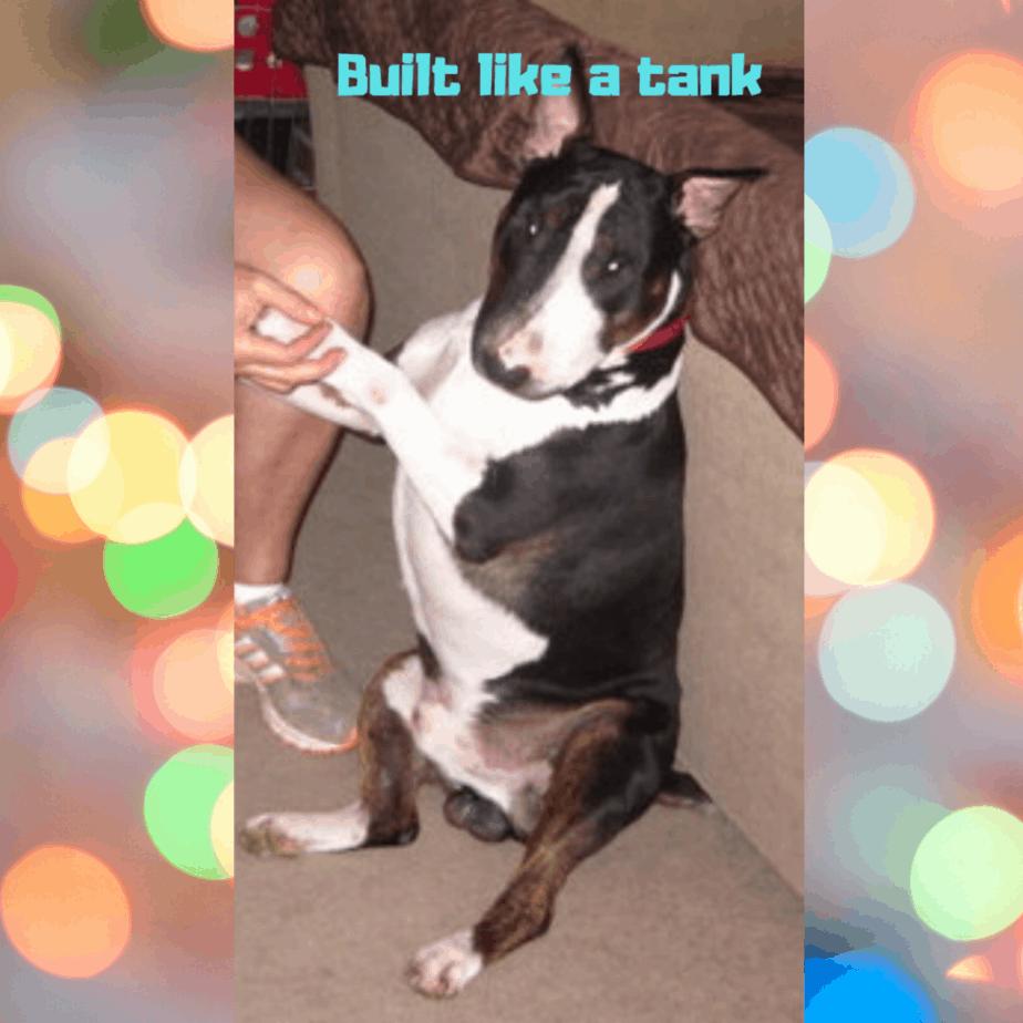 bull terrier sitting up