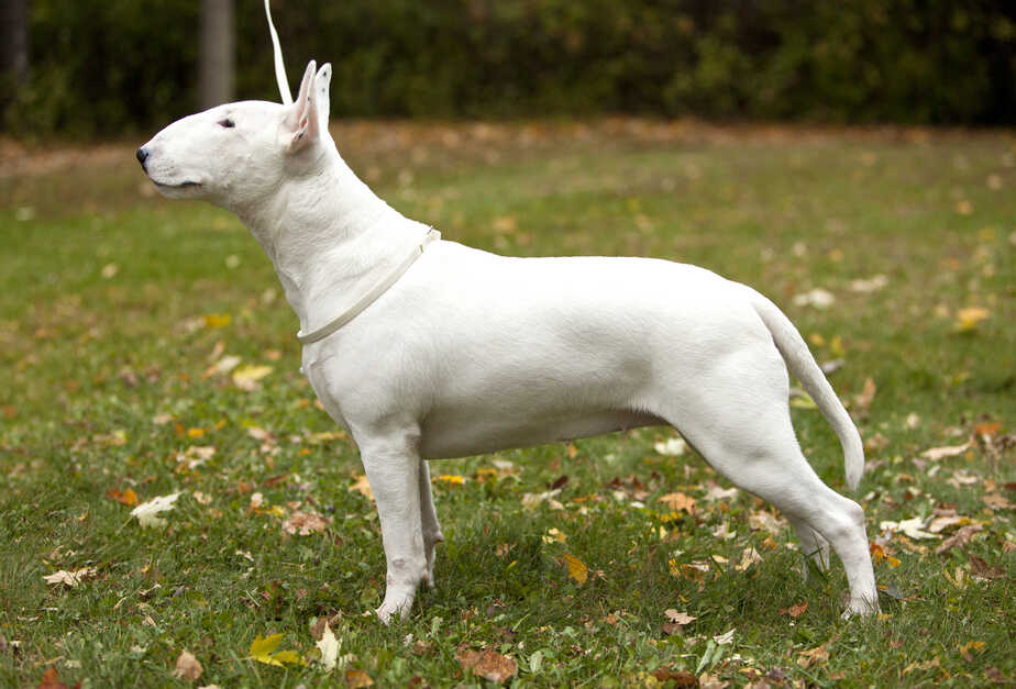White Bull Terrier Nuance Next Big Thing