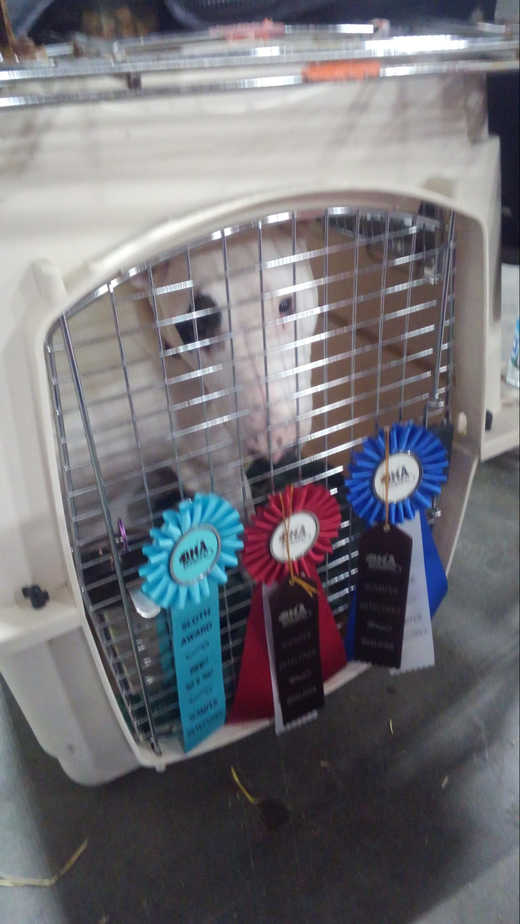 Bull Terrier in a crate with ribbons
