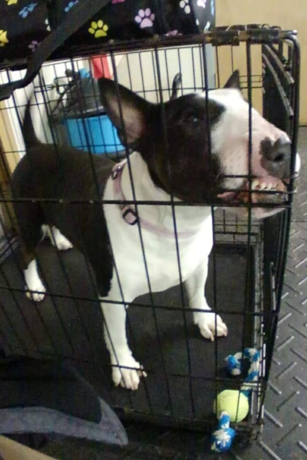 bull terrier in crate