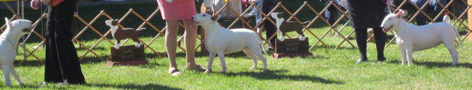 bull terriers at a dog show